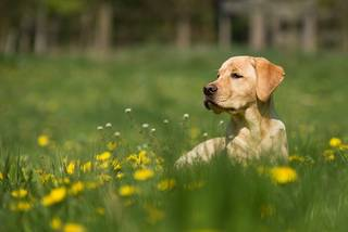 Golden Labrador in meadow